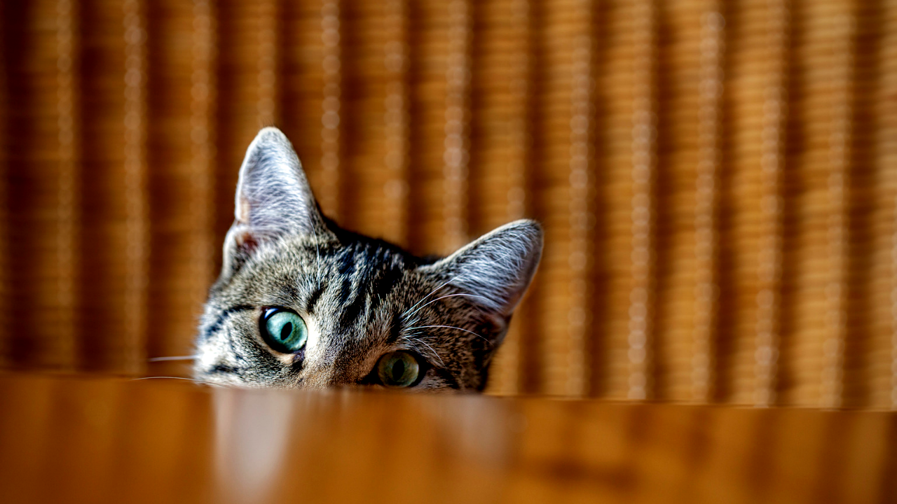 A curious cat expressed interest by peering up from below a table.